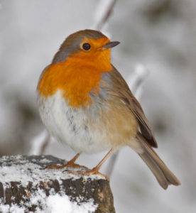 Robin_in_the_snow_3_(4250400943)