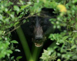 black-bear-1019046_960_720
