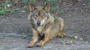 wolf-2705885_960_720